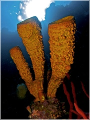 Aplysina_fistularis_Yellow_Tube_Sponge